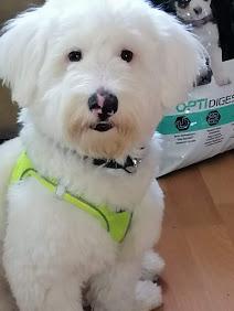 White Terrier Pofuduk